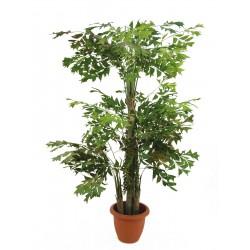 Palma orzechowa 380 cm